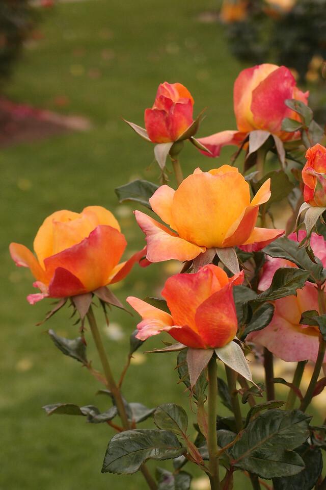 20121117_1024_7186 rose