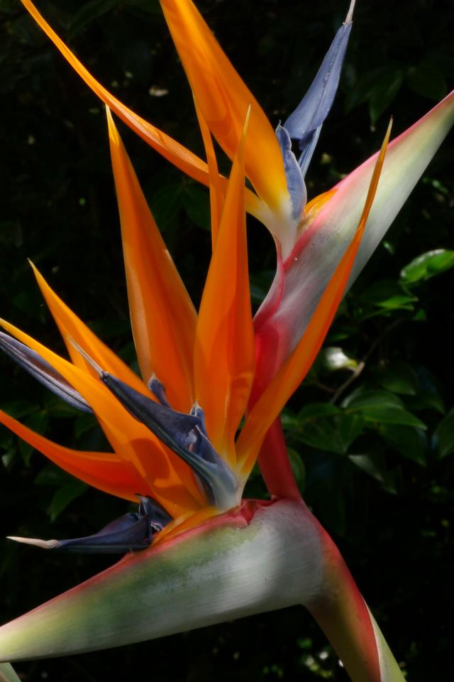 20121117_1603_4910 bird of paradise