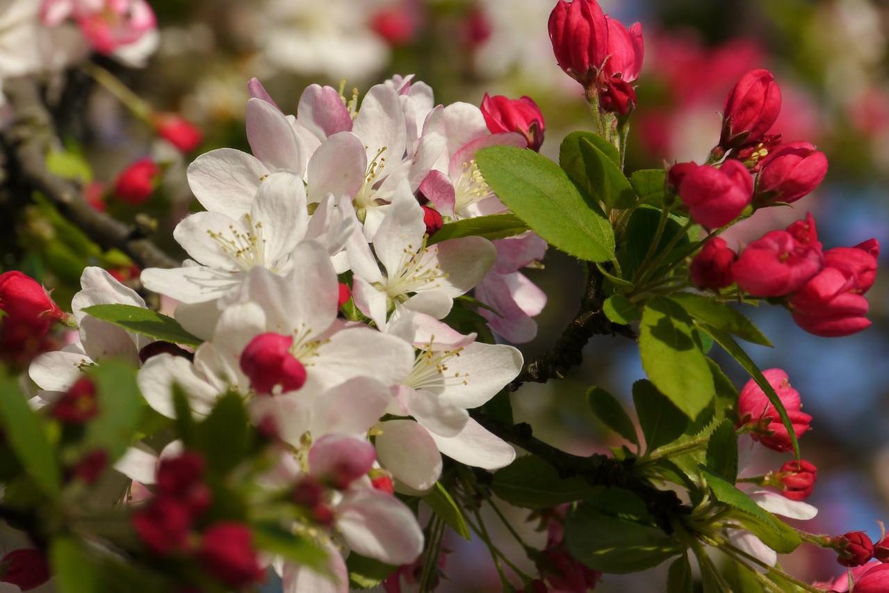 20120911_1646_3282 crabapple blossom
