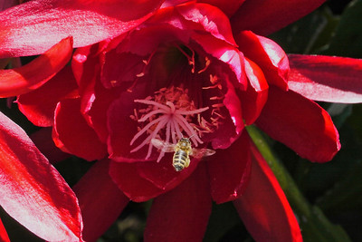 20121123_1143_5624 bee and epiphyllum