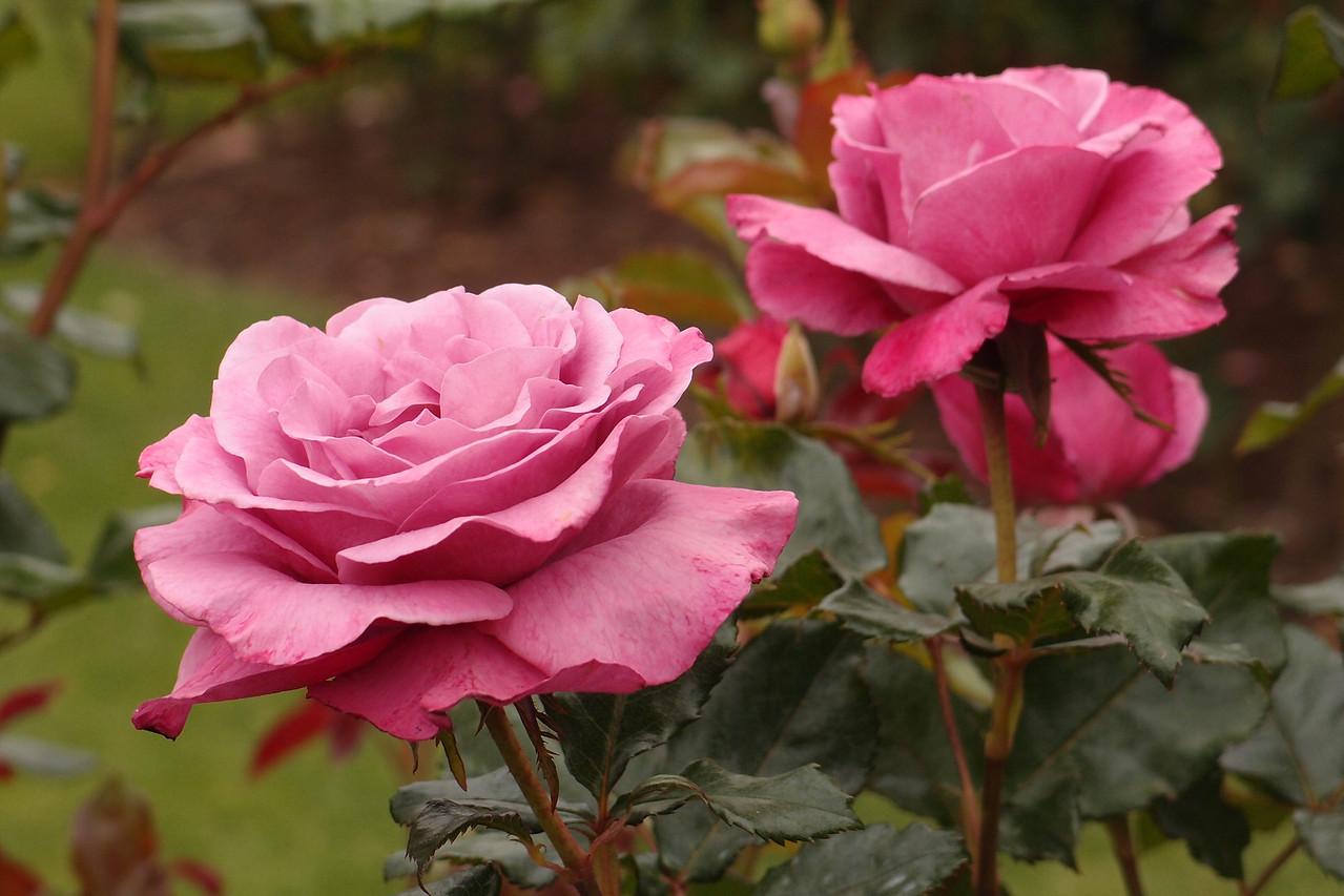 20121117_1049_7205 rose
