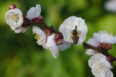 20120904_1021_3015 apricot blossom