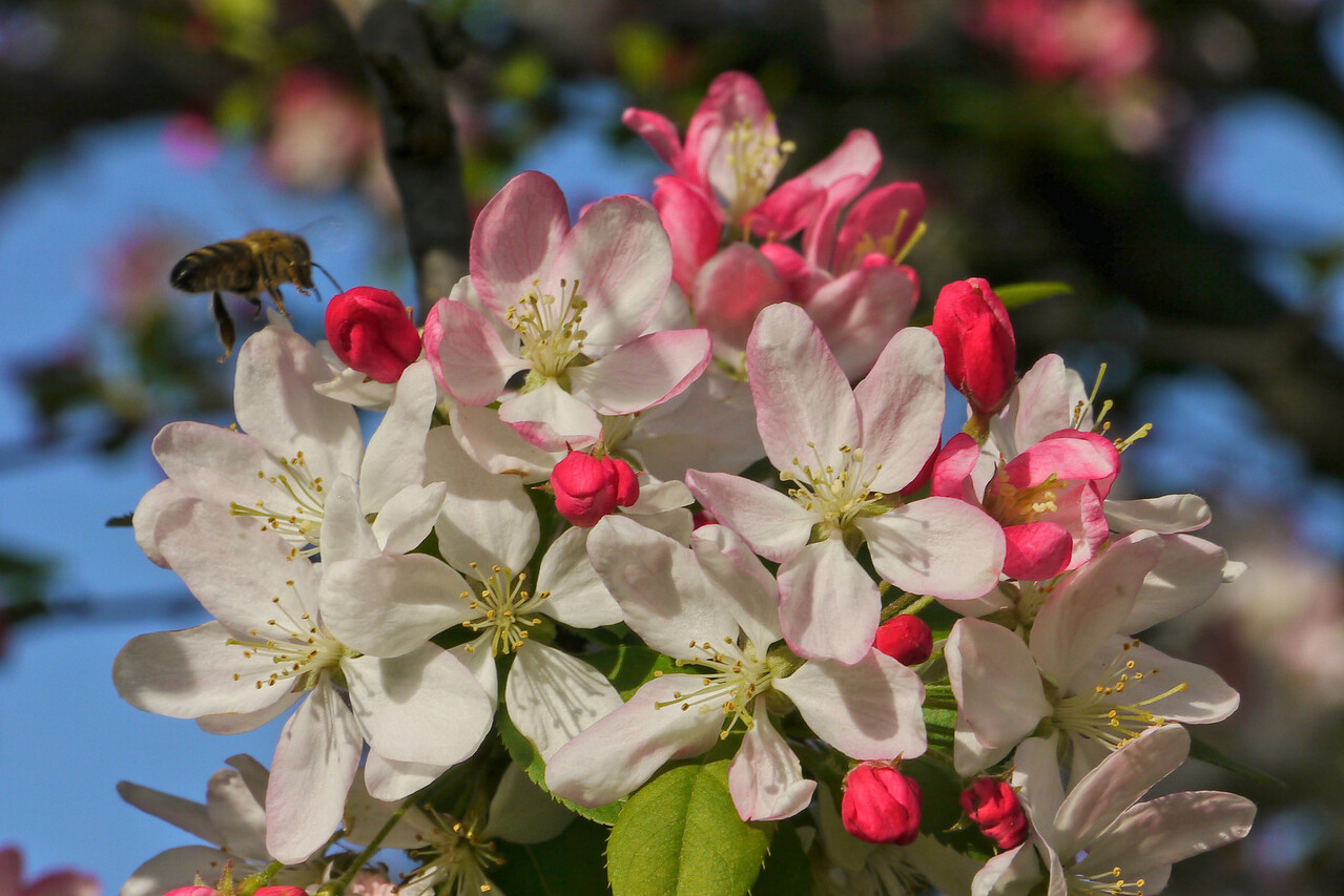 20120911_1638_3259 crabapple blossom