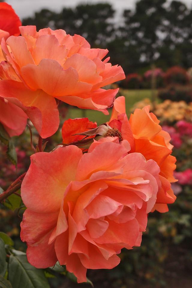 20121117_1016_7180 rose
