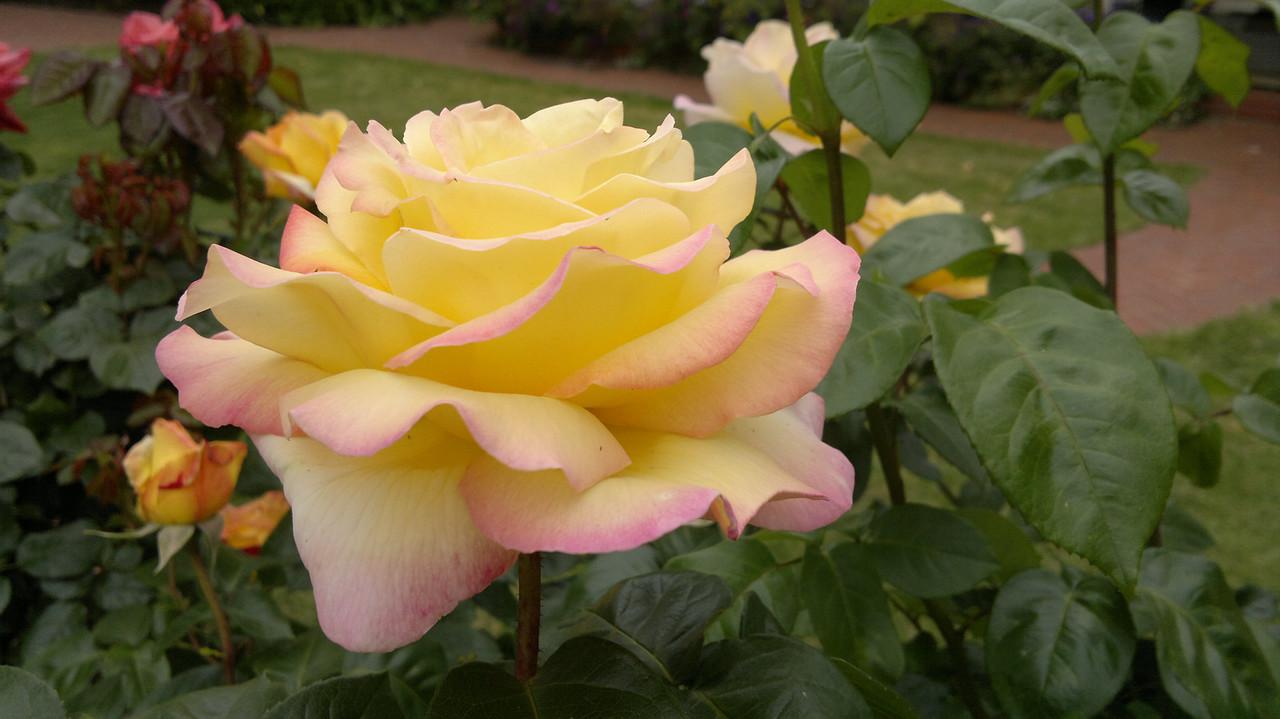 20121025_1001_002 rose