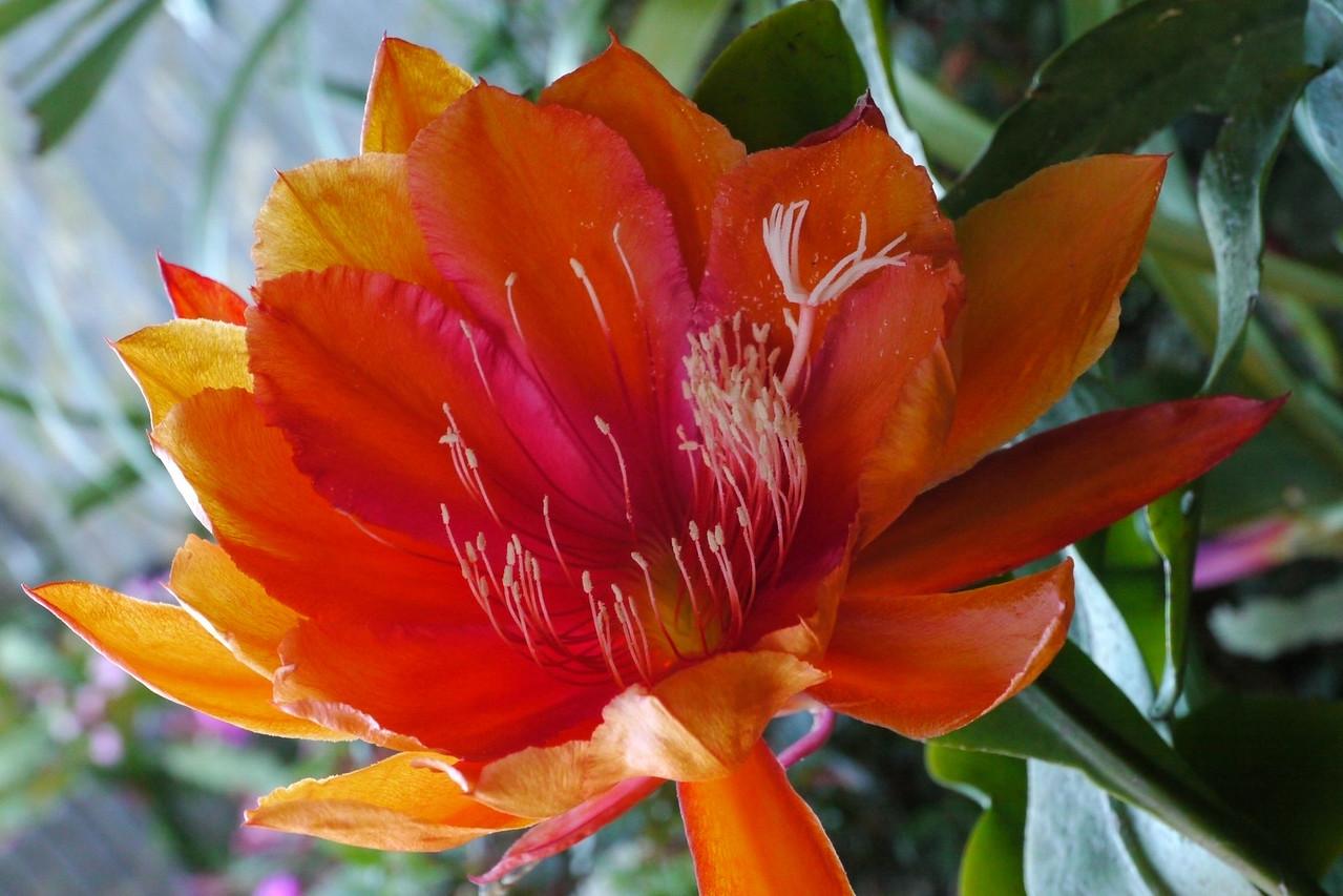 20121116_1653_4764 epiphyllum