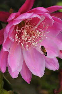 20121121_0801_5270 bee and epiphyllum 昙花