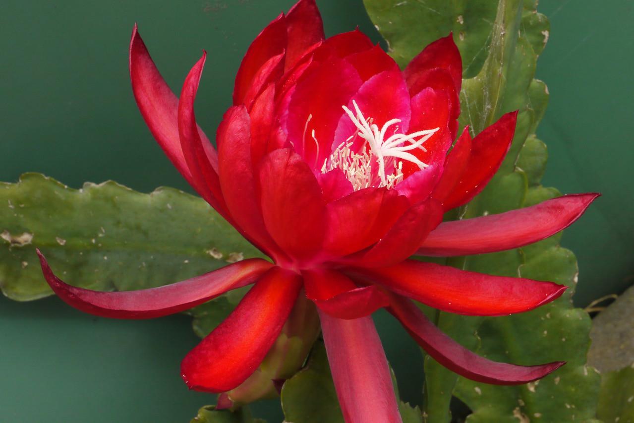20121120_1456_5186 epiphyllum 昙花