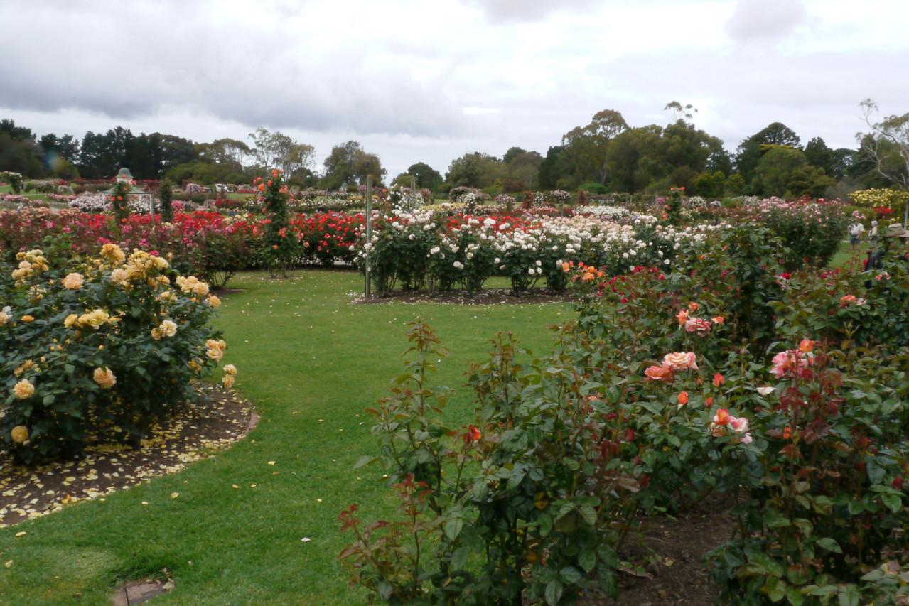 20121117_0946_4777 Werribee Rose Garden