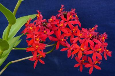 20120222_0906_6246 crucifix orchid