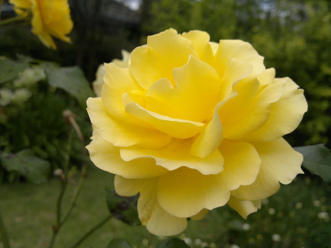 20111203_1151_055 rose