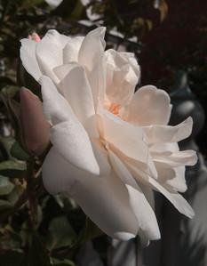 20120202_1047_88 rose