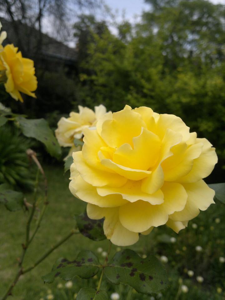20111203_1151_054 rose