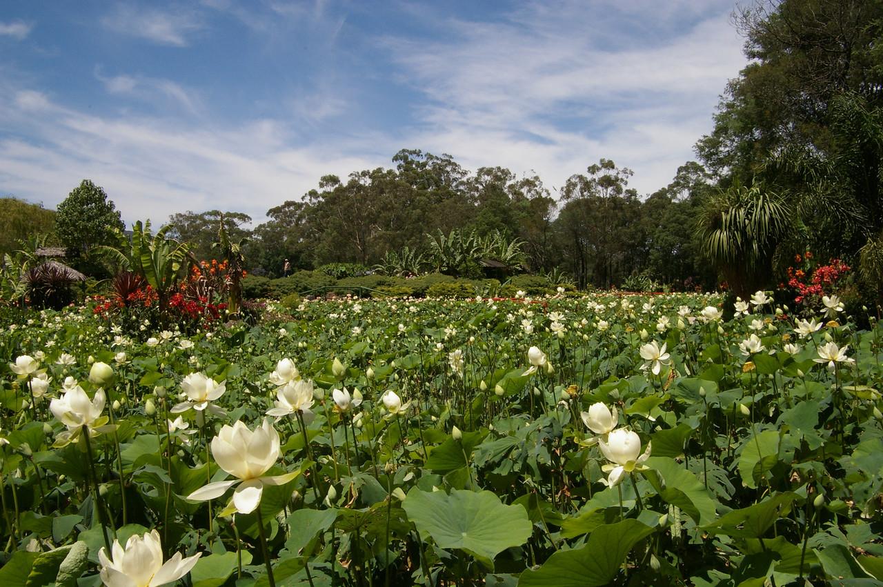 20120105_0953_0012 Blue Lotus Water Garden