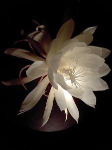 20120119_2246_0071 epiphyllum