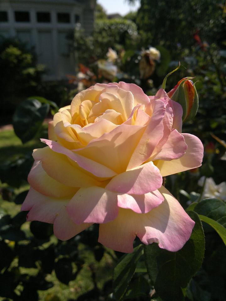 20111222_0951_100 rose