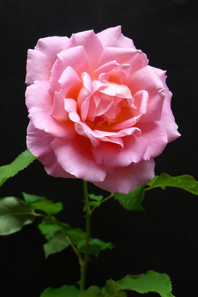 20111221_1114_5834 rose