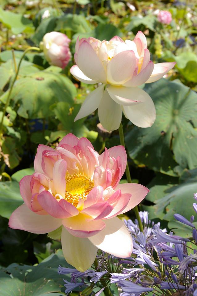 20120105_1203_0047 lotus