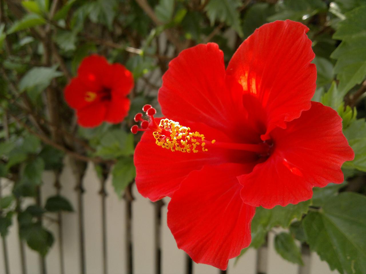 20120216_1050_208 hibiscus