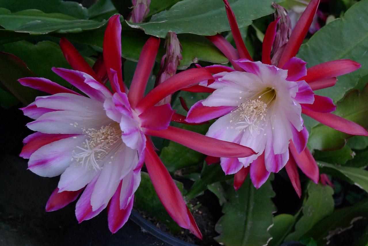 20111205_1947_5744 epiphyllum