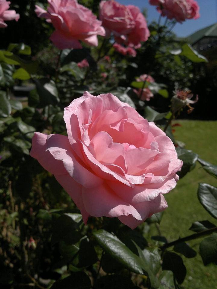 20111215_1041_070 rose