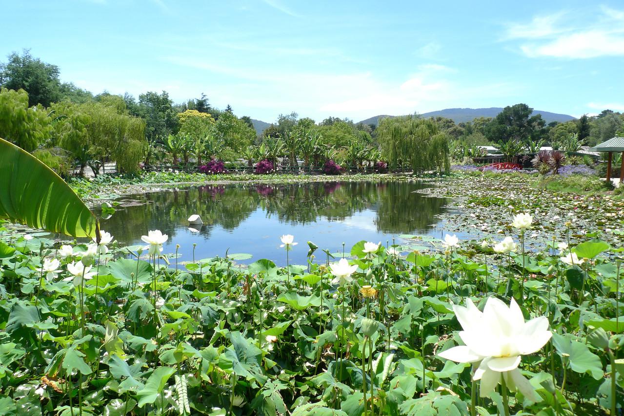 20120105_1126_6047 Blue Lotus Water Garden