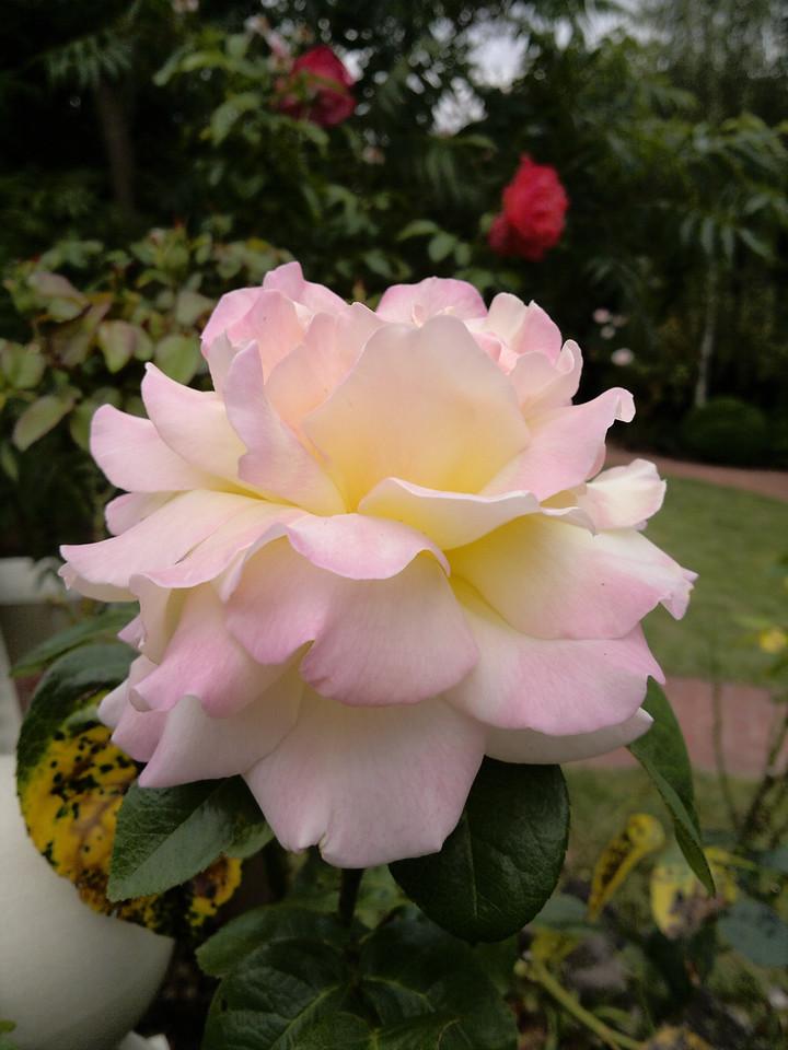 20120121_1006_154 rose