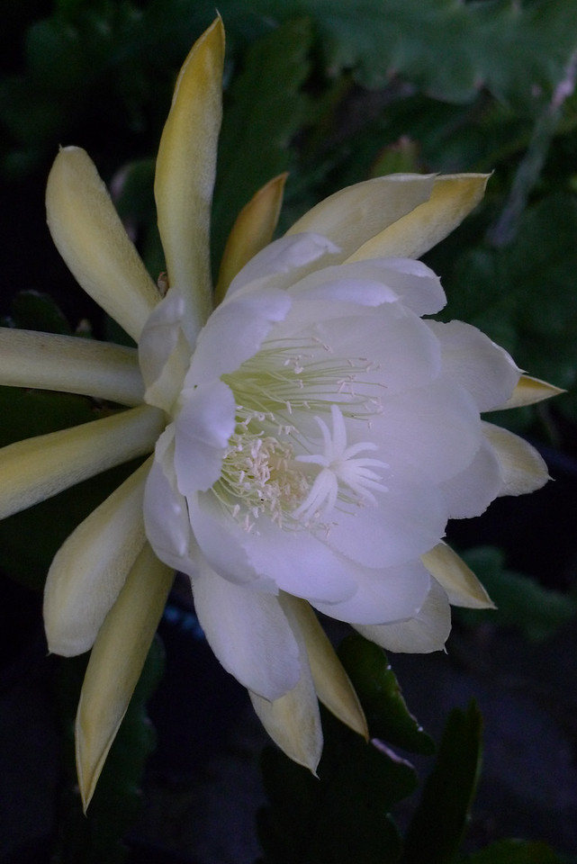 20111205_1948_5745 epiphyllum