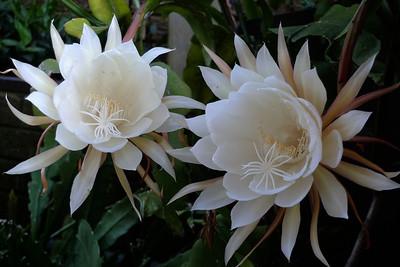 20120109_0657_6210 epiphyllum