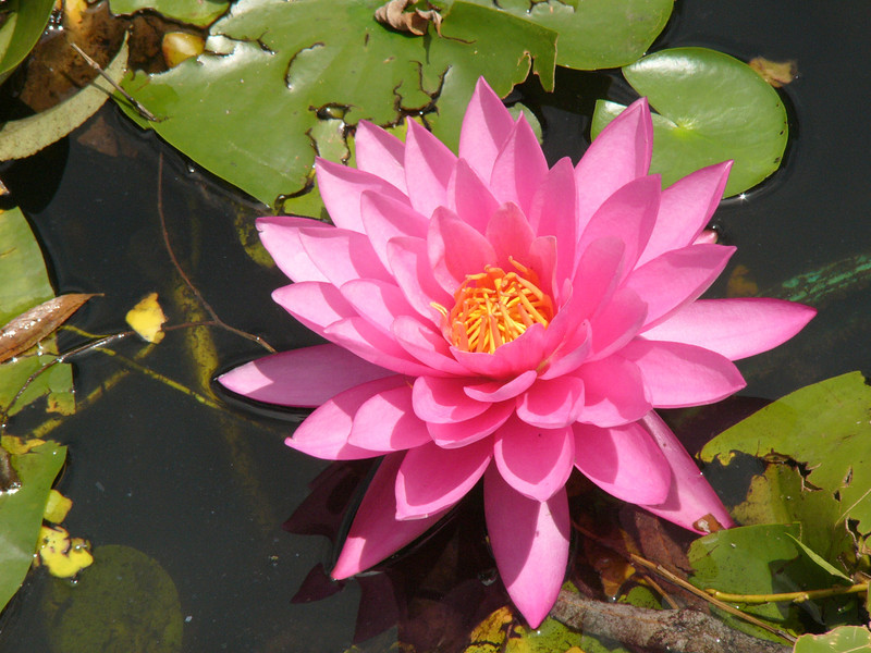 20120105_1344_3031 water lily