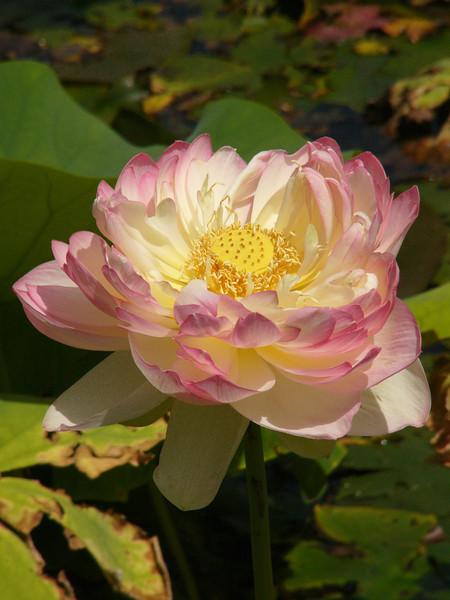 20120105_1459_3038 lotus