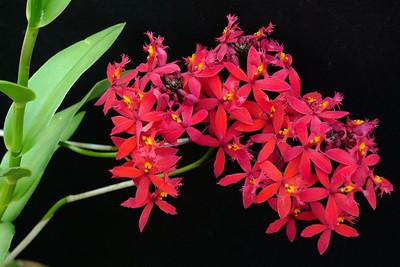 20120222_0903_6245 crucifix orchid
