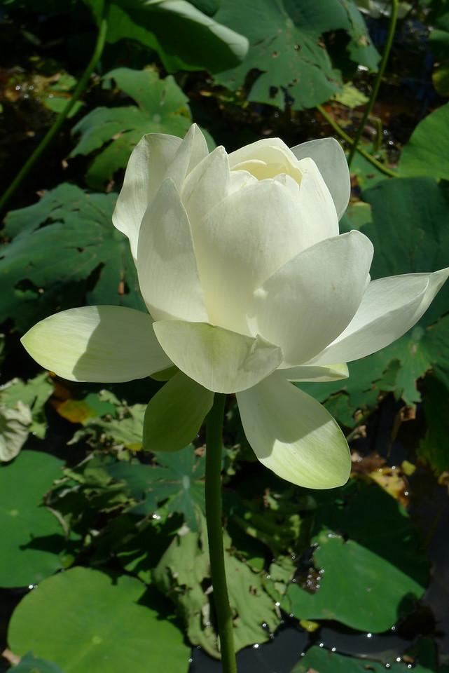 20120105_1138_6051 lotus