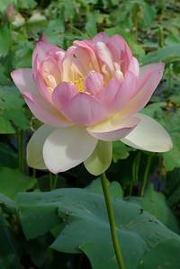 20120105_1518_6174 lotus
