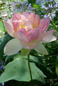 20120105_1452_6152 lotus