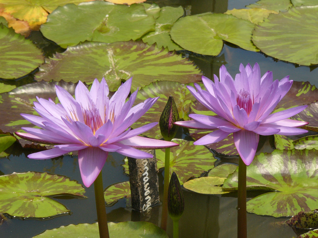 20120105_1242_3011 water lilies