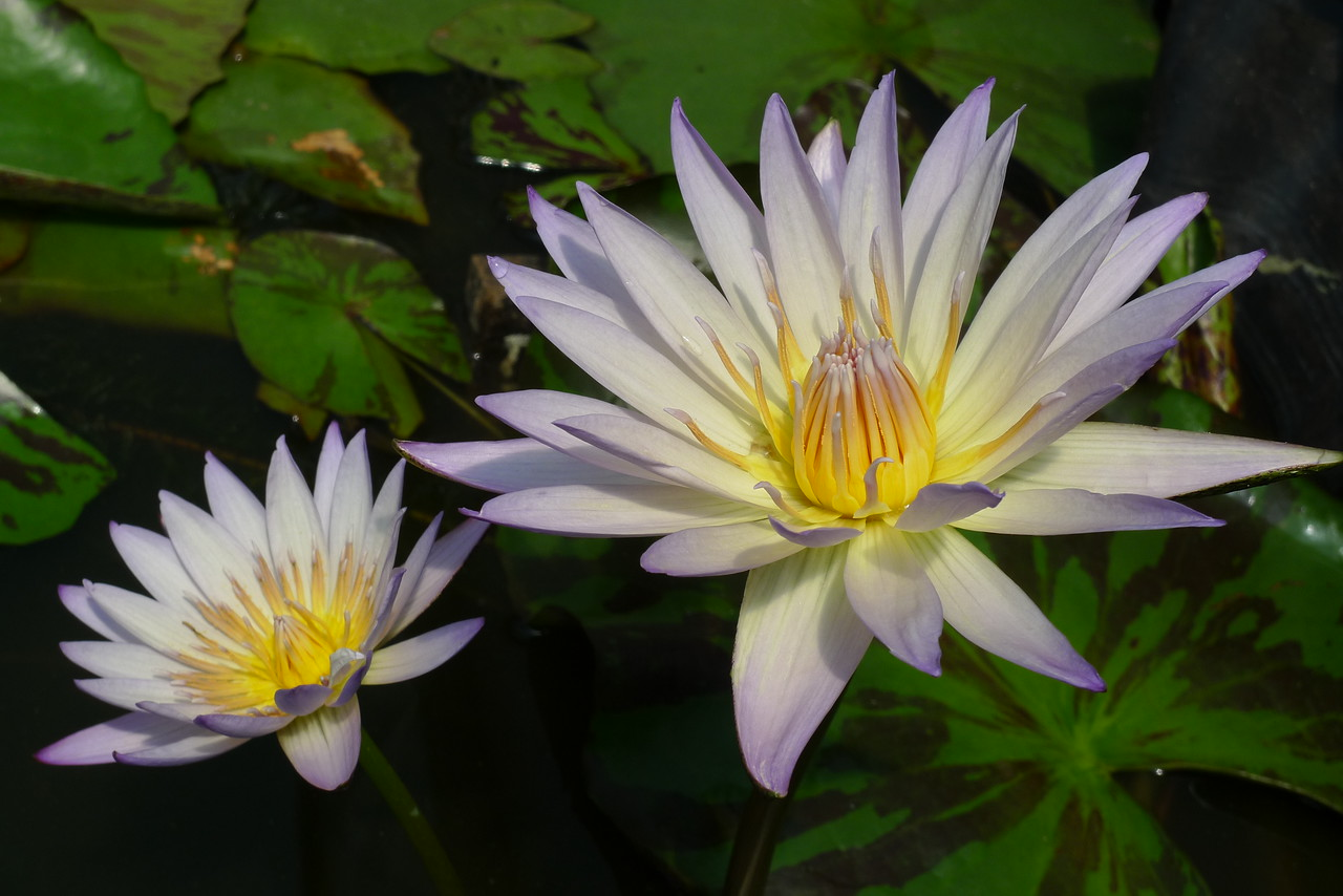 20120105_1117_6039 water lily