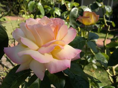 20120209_0956_179 rose