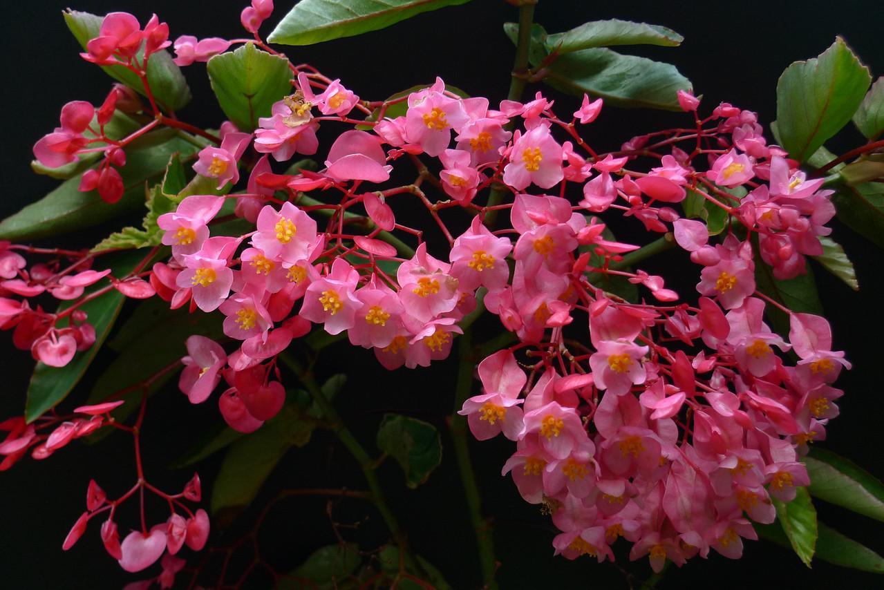 20111215_0540_5791 tree begonia