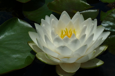 20120105_1251_6096 water lily