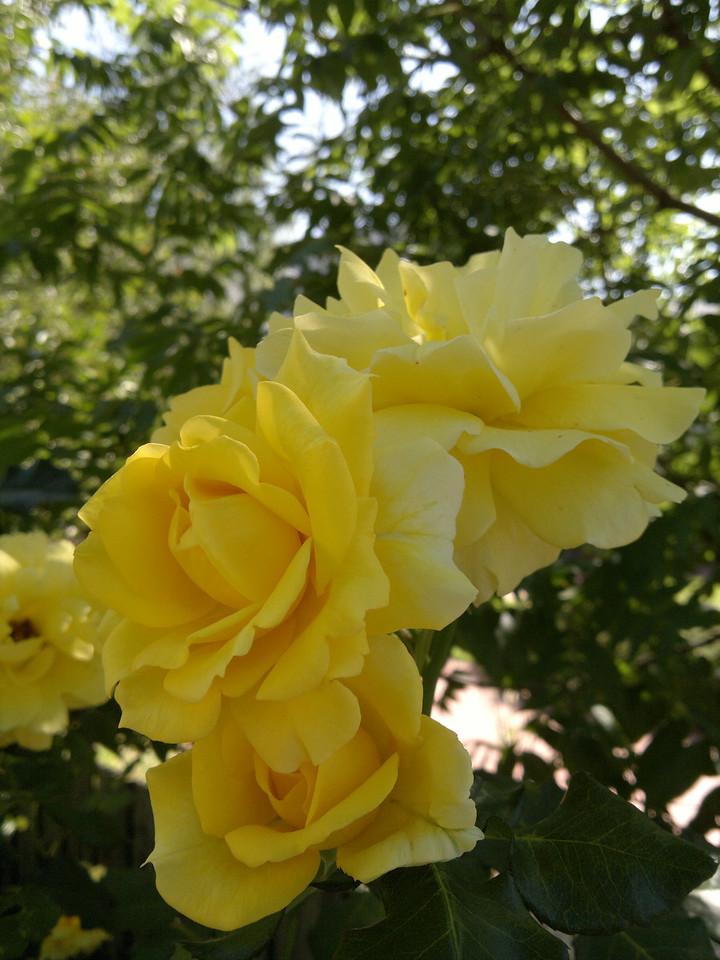 20111222_0953_103 rose