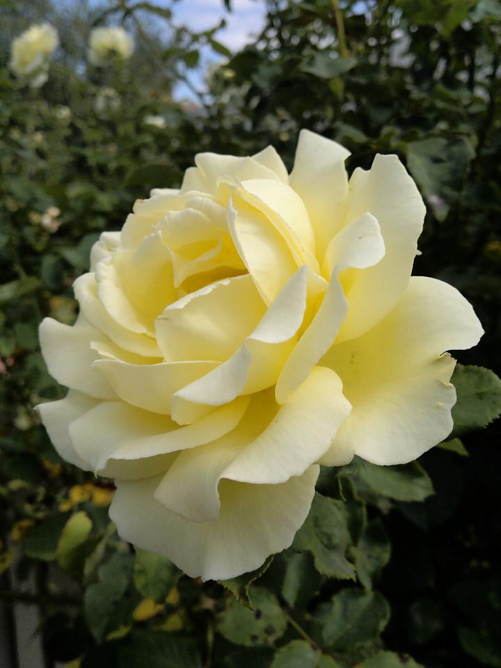 20120119_1021_148 rose
