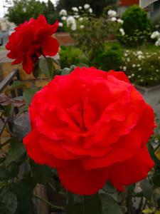 20120121_1024_159 rose