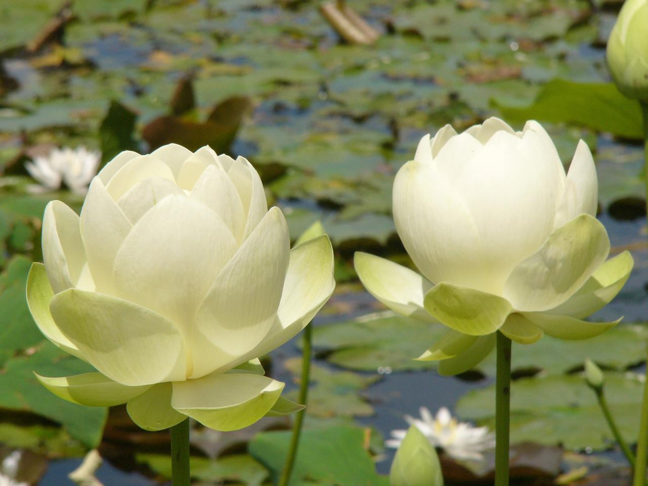 20120105_1230_3007 lotus