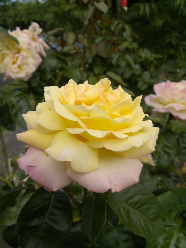 20111210_1005_063 rose
