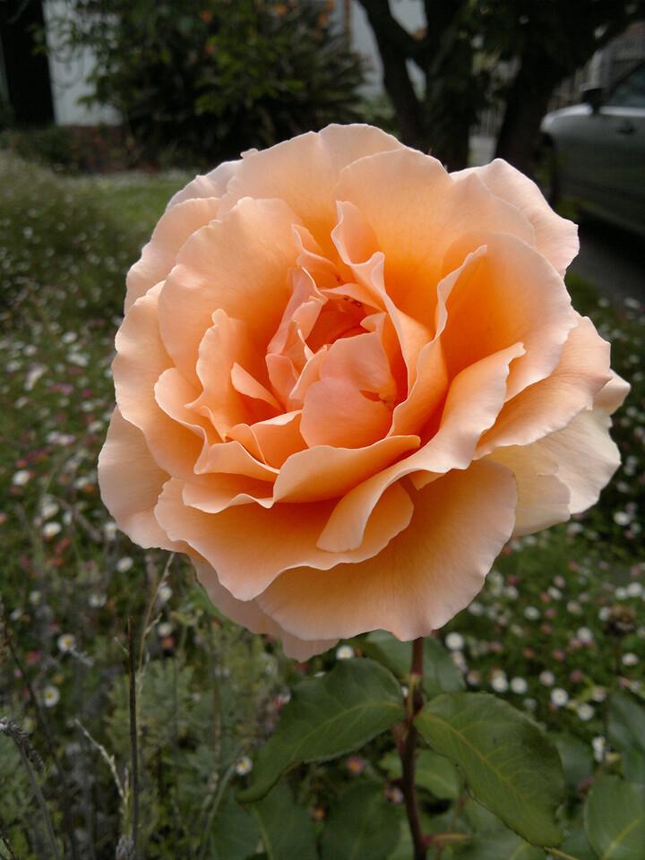 20111203_1153_058 rose