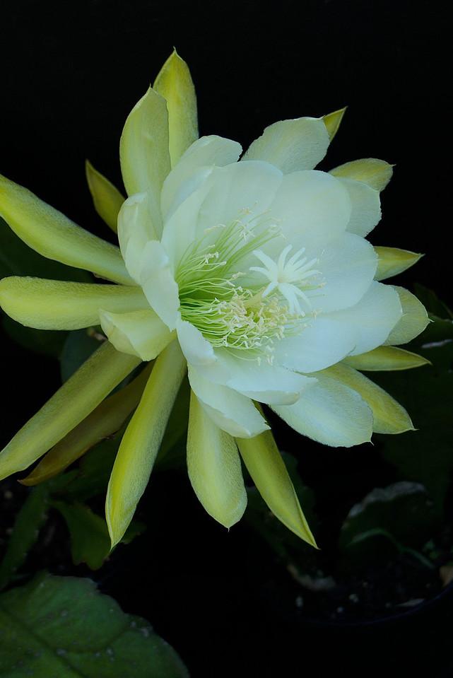 20111205_1044_5738 epiphyllum