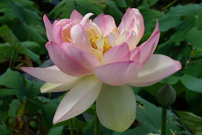 20120105_1456_6159 lotus