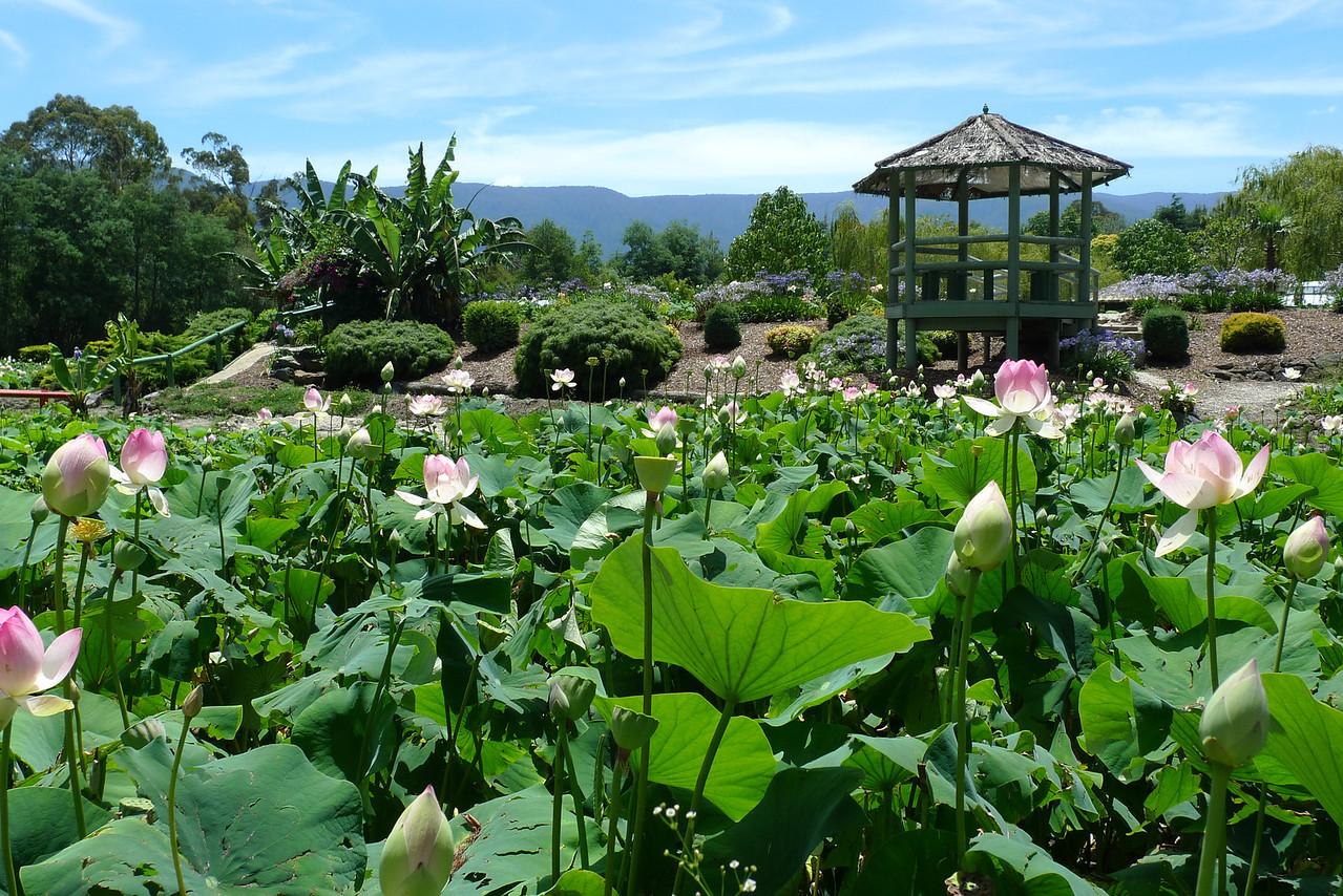 20120105_1205_6072 lotus