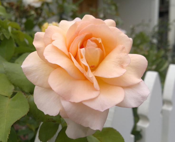 20120221_1149_209 rose